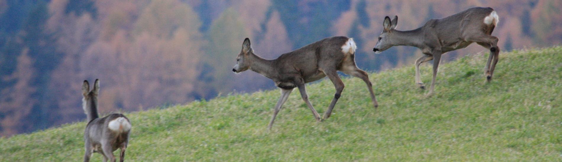 Alla scoperta dei Cervi al Parco Naturale di Paneveggio